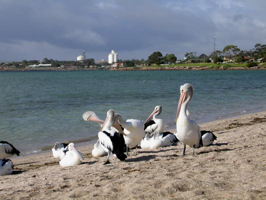 Streaky Bay Foreshore Tourist Park - Streaky Bay: Pelicans at Streaky Bay